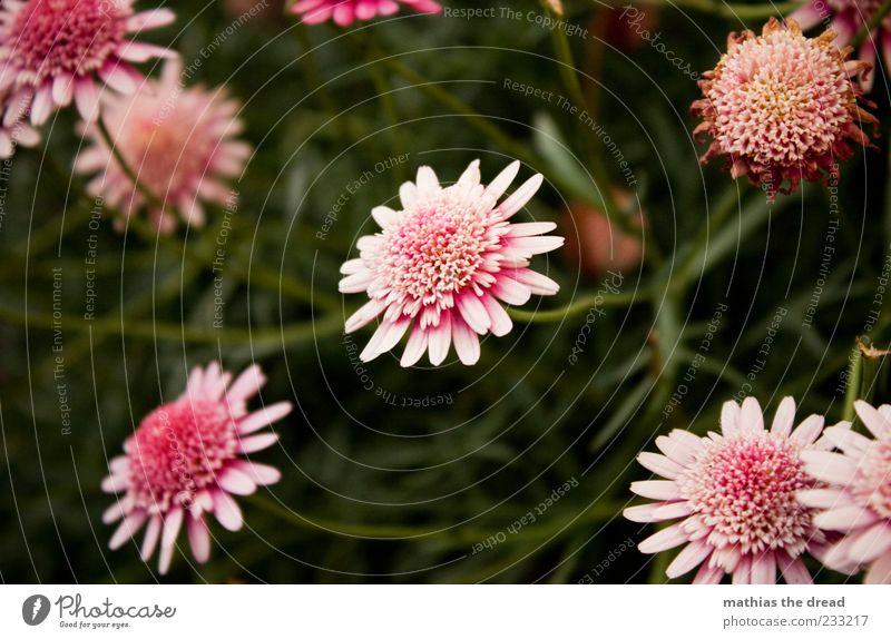 IHR NAME WAR ROSA Umwelt Natur Pflanze Frühling Sommer Schönes Wetter Blume Blatt Blüte Garten Park Wiese Duft elegant exotisch schön Kitsch natürlich rosa weiß