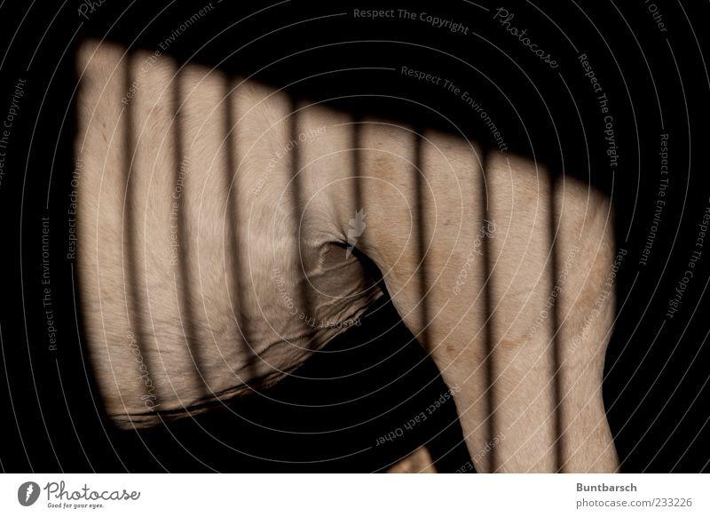 Hinter Gittern (oder einmal ein Zebra sein) Pferdestall Tier Haustier Nutztier Schimmel Trakehner 1 stehen dunkel muskulös grau weiß ruhig Pferdezucht Schatten