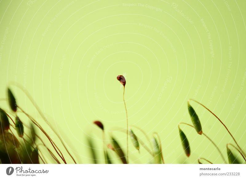 Durchsetzen Natur Pflanze exotisch Moos Farbfoto Außenaufnahme Tag Blick in die Kamera hellgrün Pflanzenteile dünn Menschenleer Textfreiraum oben