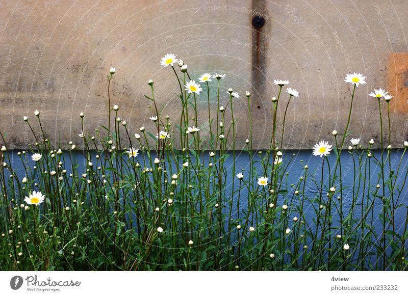minimalistisch schön Natur blau weiß grün Pflanze Blatt gelb Wand Blüte dreckig Fassade unten Blühend Stengel Putz Margerite