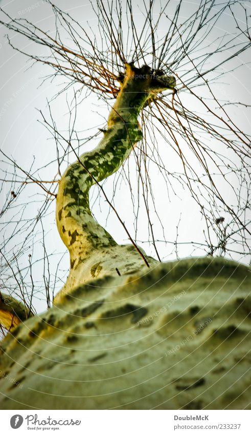 Knorrig Himmel Natur alt grün Baum gelb dunkel kalt Herbst Traurigkeit braun Ast trocken lang Baumstamm Wolkenloser Himmel