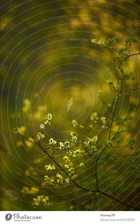 Frühlingslaub Natur Pflanze Blatt leuchten Wachstum frisch neu grün Frühlingsgefühle Zweig Farbfoto Außenaufnahme Detailaufnahme Menschenleer Textfreiraum oben