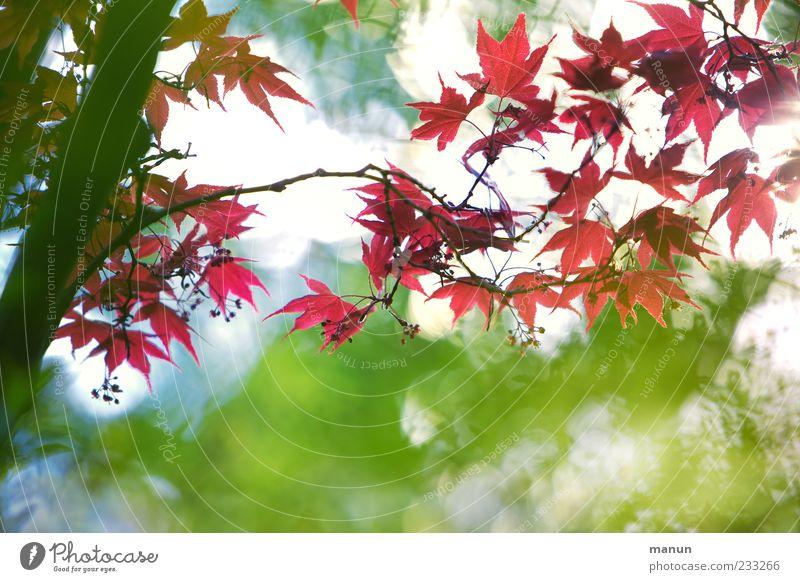 Asiatischer Fächer Natur Frühling Baum Blatt exotisch Japanischer Ahorn Ast Blühend Wachstum authentisch außergewöhnlich fantastisch schön rot Frühlingsgefühle