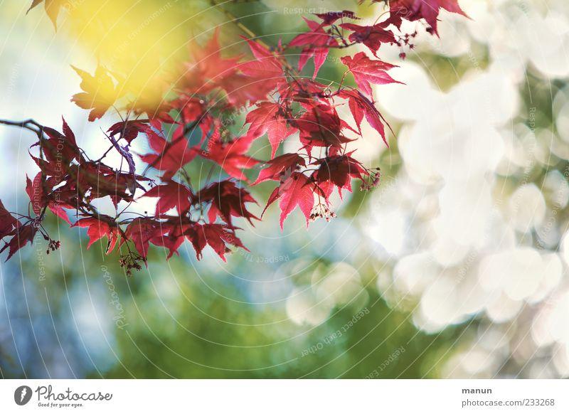 Asienfächer Natur Frühling Blatt Blüte exotisch Zweig Japanischer Ahorn Blühend Wachstum außergewöhnlich fantastisch natürlich schön rot Frühlingsgefühle