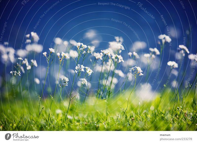 Rasenblüte Natur Frühling Pflanze Blume Gras Wildpflanze Frühlingsblume Wiese Blühend Duft Frühlingsgefühle Farbfoto Außenaufnahme Menschenleer