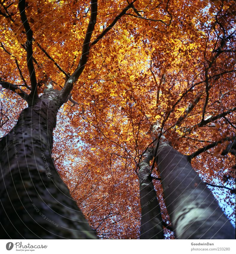 Gold. Umwelt Natur Herbst Wetter Schönes Wetter Baum authentisch groß oben Stimmung Farbfoto Außenaufnahme Menschenleer Tag Licht Sonnenlicht