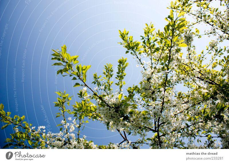 KIRSCHBLÜTE Umwelt Natur Pflanze Himmel Wolkenloser Himmel Sonnenlicht Frühling Schönes Wetter Baum Blatt Blüte Duft weiß Frühlingsgefühle Baumkrone Blätterdach