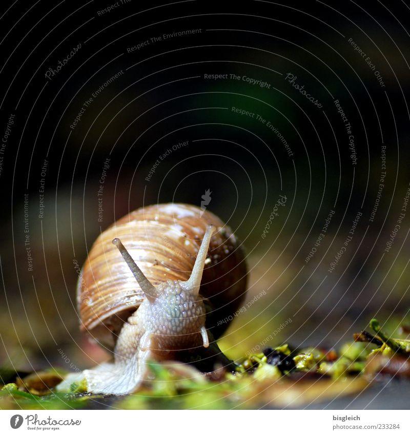 Schnecke I Schneckenhaus 1 Tier klein langsam ruhig schleimig Fühler Farbfoto Außenaufnahme Nahaufnahme Textfreiraum oben Schwache Tiefenschärfe Menschenleer