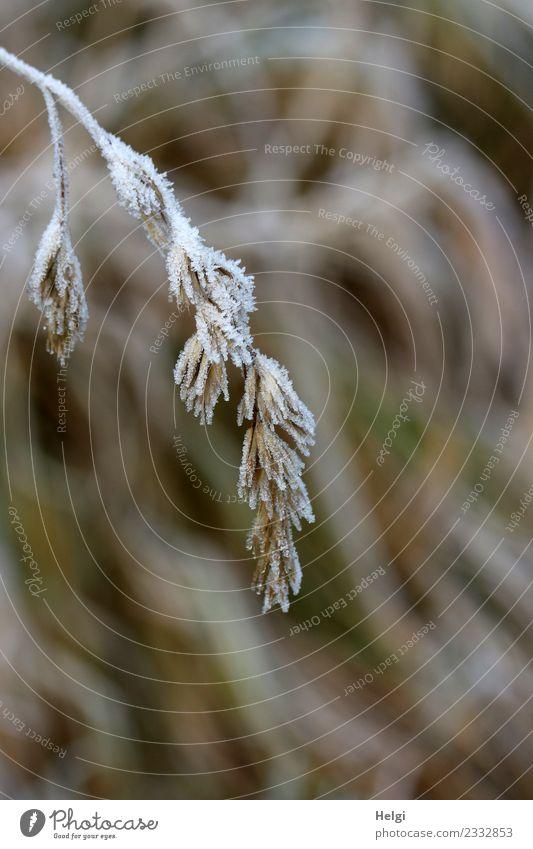 Raureif Umwelt Natur Pflanze Winter Eis Frost Gras Wildpflanze Feld frieren hängen kalt klein natürlich braun grau weiß Vergänglichkeit Wandel & Veränderung