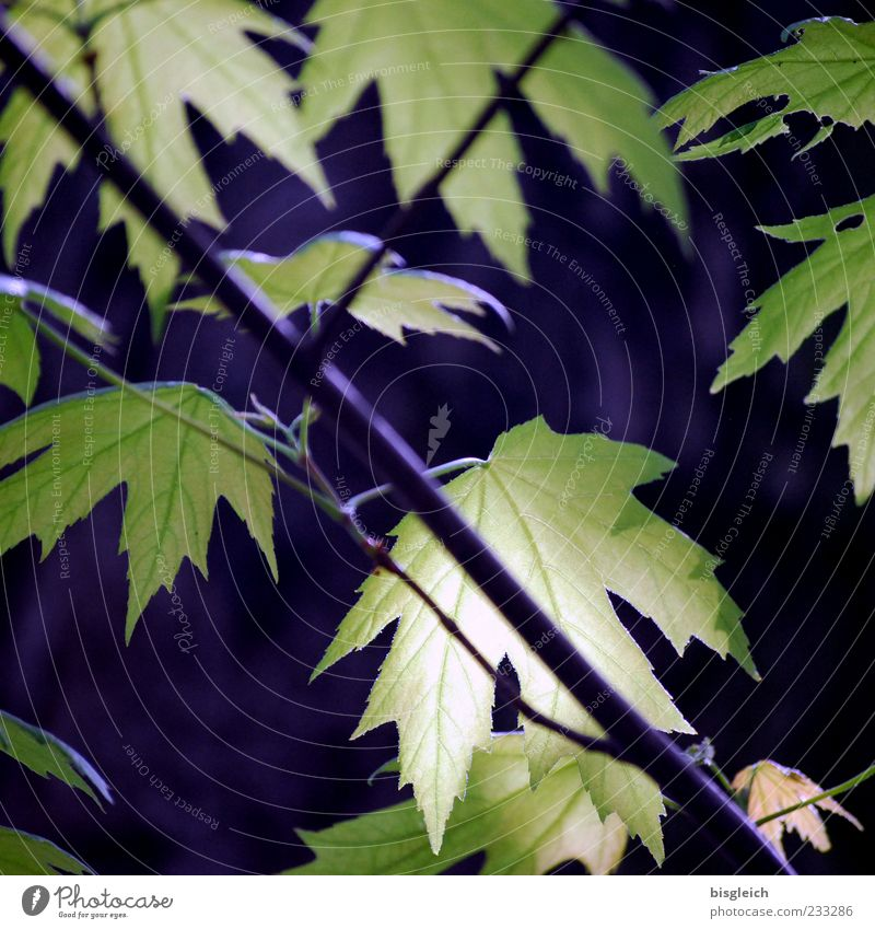 Ahornblätter grün Baum Pflanze Blatt ruhig Frühling Ahornblatt Blattgrün