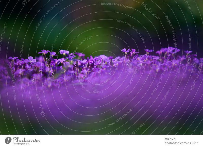 Violetta I Natur schön Pflanze Blume Frühling violett fantastisch Blühend Duft Frühlingsgefühle Frühlingsblume Frühlingsfarbe