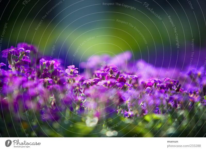 Violetta II grün schön Pflanze Blume Frühling violett Blühend Frühlingsgefühle Frühlingsblume