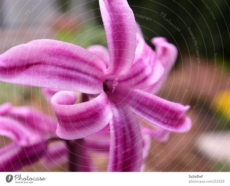 Rosa Blume Blume