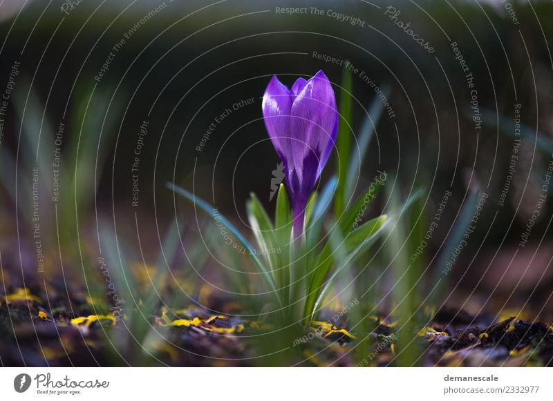 Krokus Umwelt Natur Landschaft Pflanze Tier Sonnenlicht Frühling Blume Blatt Blüte Krokusse Blühend Wachstum frisch klein schön gelb grün violett Fröhlichkeit