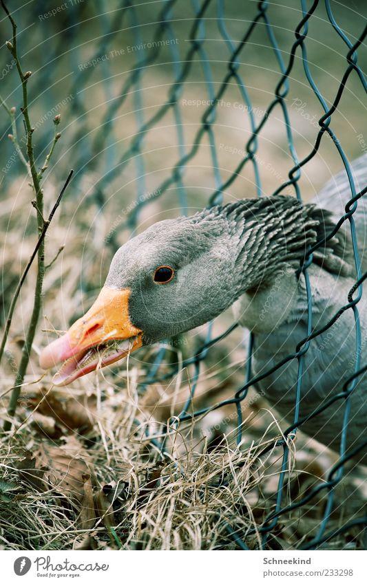 Nr.:200 Umwelt Natur Gras Tier Nutztier Wildtier Tiergesicht 1 Schnabel Gans Zaun Maschendrahtzaun Hals Federvieh Auge trocken Appetit & Hunger Maul Farbfoto