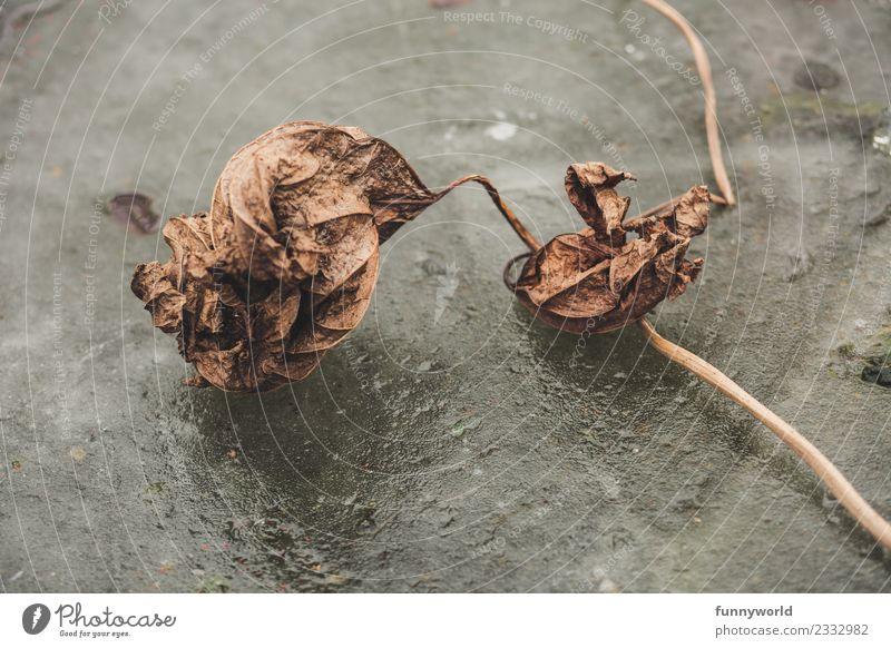 Vertrocknetes Blatt liegt auf Eisfläche Umwelt alt kalt Krankheit trocken Einsamkeit Ende Endzeitstimmung Misserfolg stagnierend vertrocknet braun Tod Zeit