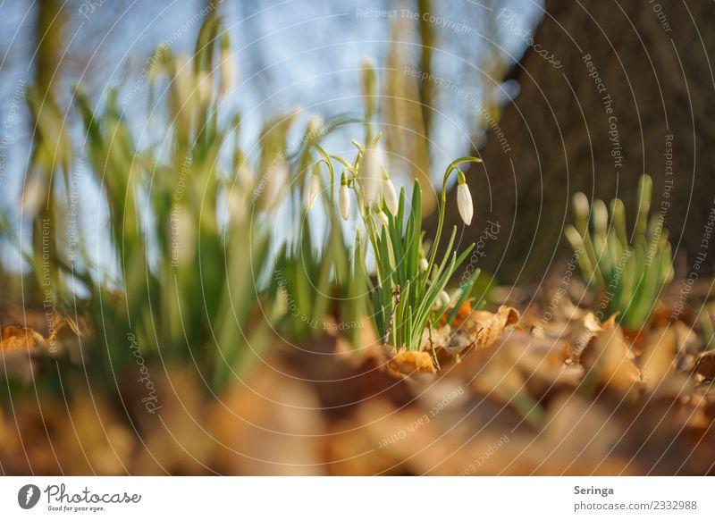 Ein Hauch von Frühling Umwelt Natur Landschaft Pflanze Tier Sonne Winter Schnee Blatt Blüte Wildpflanze Garten Park Wiese Wald Blühend Schneeglöckchen Farbfoto
