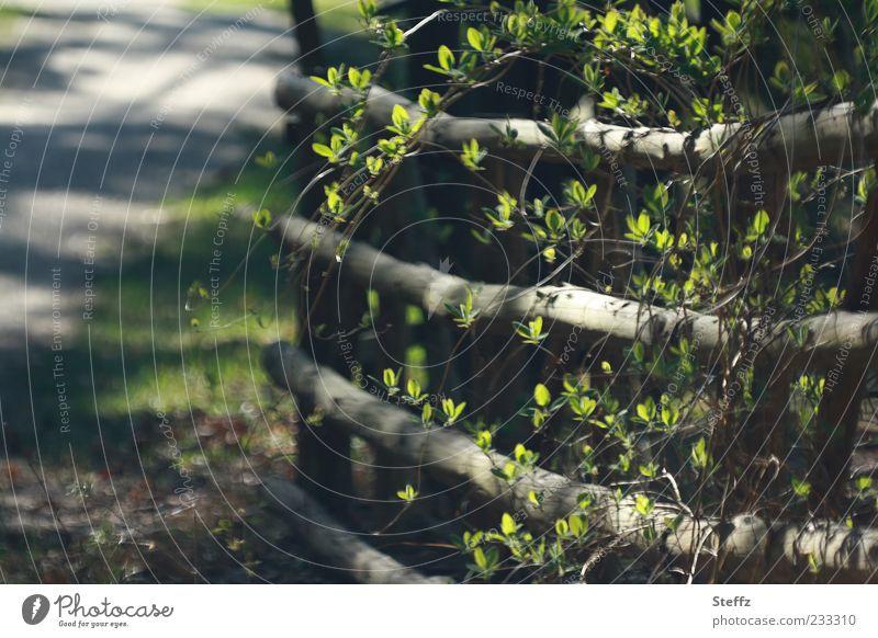 Frühling Garten Gartenzaun Holzzaun Landleben Natur Sonnenlicht Schönes Wetter Pflanze Sträucher Blatt Zweig Blattknospe Zaun Barriere Begrenzung Zaunlücke
