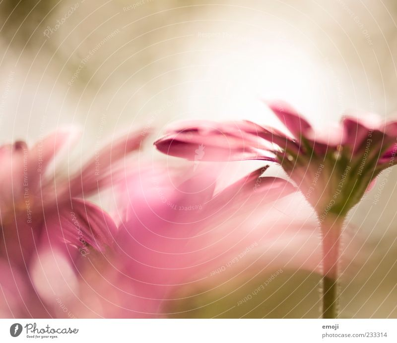 tender Natur Pflanze Blume Frühling rosa zart Duft sanft Blüte Blütenblatt Licht