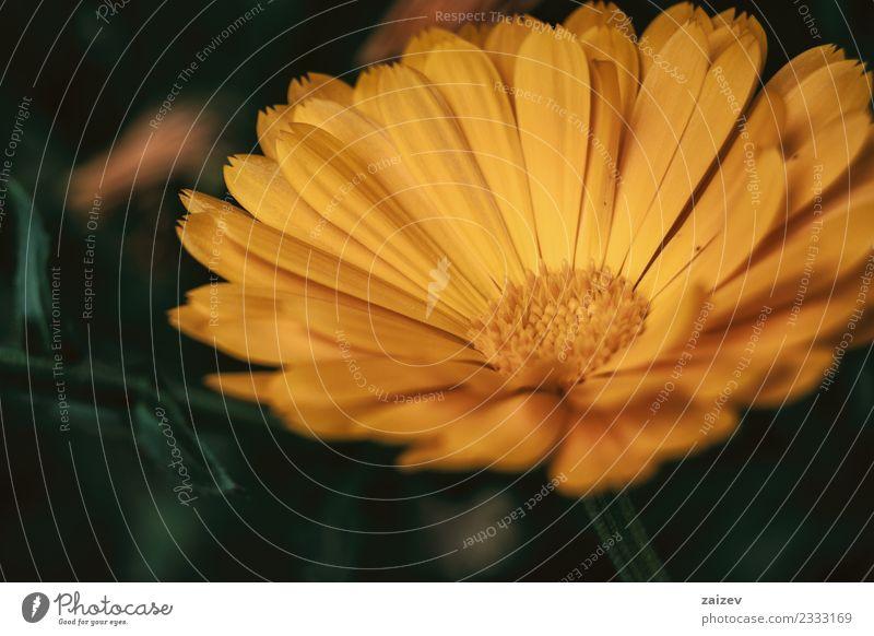 eine einzelne orangefarbene Blume der Ringelblume officinalis aus nächster Nähe Topf schön Sommer Garten Natur Pflanze Blüte Wildpflanze Park natürlich grün