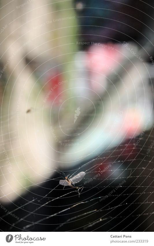 nowhere Tier Tod Wildtier Fliege Flügel Ende Insekt hängen Falle gefangen Spinnennetz Klebrig Totes Tier Florfliege