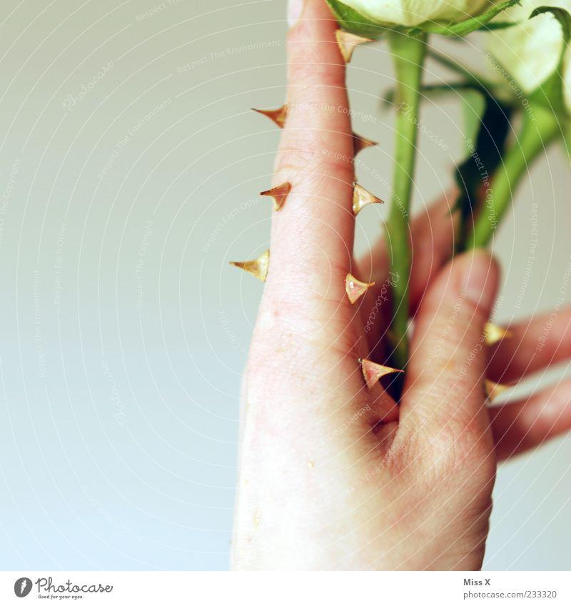 Dornenfinger Hand Pflanze Blume Blatt Blüte Finger Rose Spitze festhalten Schutz Blühend Stengel skurril bizarr Surrealismus falsch
