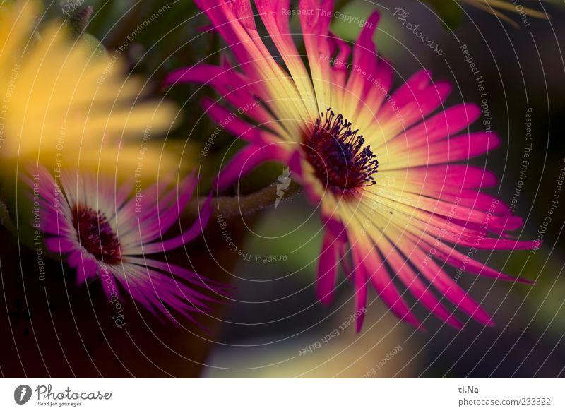 Eisblumen Frühling Pflanze Mittagsblumen Blühend ästhetisch hell schön gelb rosa Farbfoto mehrfarbig Außenaufnahme Nahaufnahme Tag Unschärfe Blütenblatt
