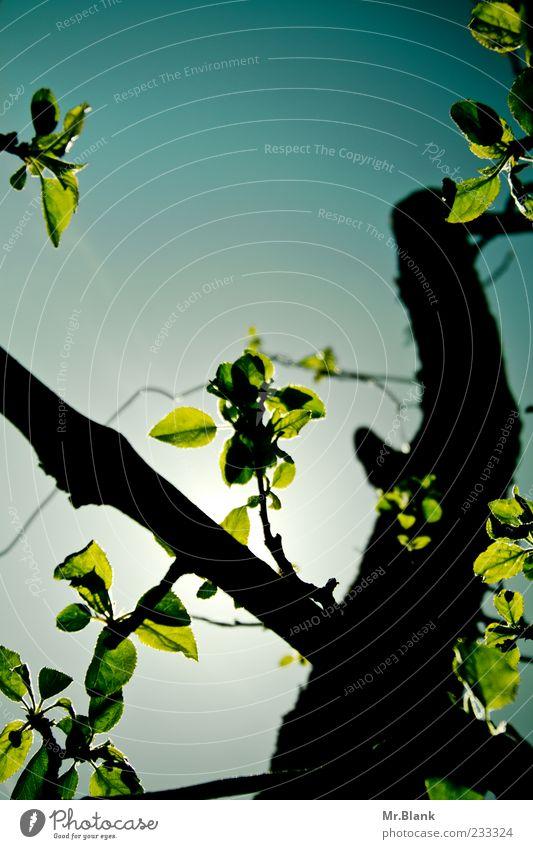 blätter im durchlicht Natur Pflanze Himmel Baum Blatt blau grün schwarz Ast Farbfoto Außenaufnahme Menschenleer Textfreiraum oben Tag Licht Schatten Kontrast