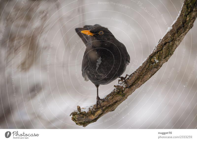 Amsel auf Ast Natur weiß Baum Tier Winter Wald schwarz gelb Umwelt Herbst Schnee Garten grau Vogel braun orange