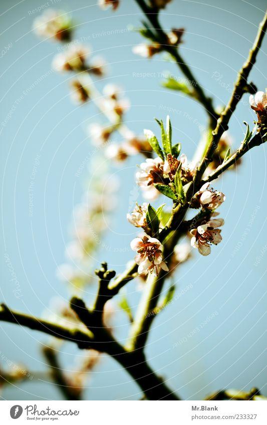 ach ja schön, blüten und so.. Natur Pflanze Schönes Wetter Blatt Blüte Nutzpflanze hell blau grün rosa schwarz Ast Apfelblüte Frühling Farbfoto Außenaufnahme