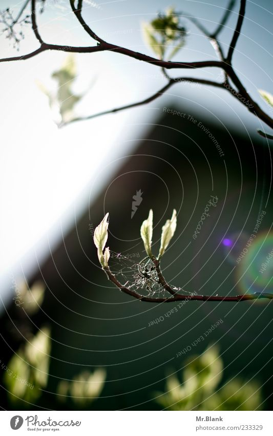 blätter im durchlicht II Natur blau grün Baum Pflanze Blatt schwarz Frühling Ast Spinnennetz Blattknospe