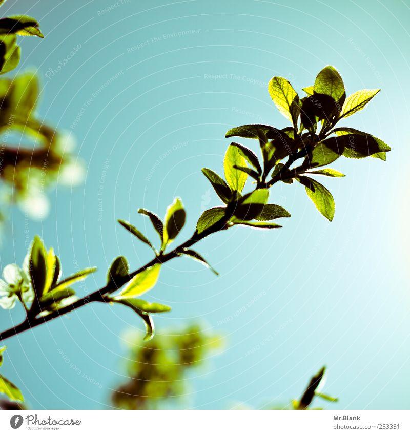 blätter im durchlicht III Natur Pflanze Sonnenlicht Frühling Schönes Wetter Baum Blatt hell schön blau grün Ast Farbfoto Außenaufnahme Textfreiraum rechts