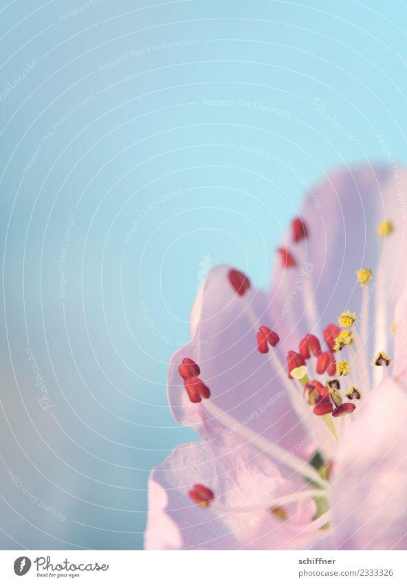 Rosa Puff für Bienen Natur Pflanze Baum Blüte Nutzpflanze blau rosa Blütenknospen Blütenblatt Blütenstempel Blütenpflanze Pollen Stempel gelb Außenaufnahme