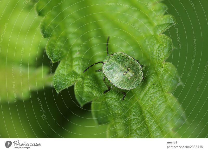 Wanze auf Blatt Umwelt Natur Tier Pflanze Gras Grünpflanze Garten Park Wiese Wildtier Käfer 1 ästhetisch klein niedlich schön grün Fühler Blattgrün Brennnessel