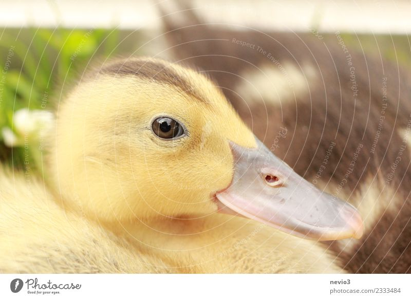 Entenküken mit interessiertem Blick Umwelt Sommer Tier Haustier Nutztier Wildtier Vogel Tiergesicht 1 braun gelb gold Gefühle Frühlingsgefühle Leben Entenvögel