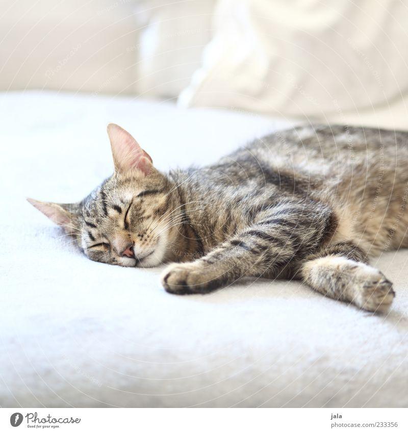 mittagsschlaf Tier Haustier Katze 1 liegen schlafen hell schön grau weiß Farbfoto Innenaufnahme Menschenleer Textfreiraum oben Textfreiraum unten Tag