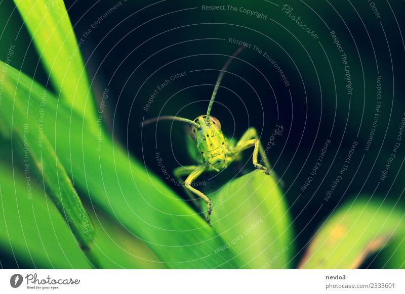 Lächelnder Grashüfer Natur Pflanze schön grün Tier Blatt Freude Umwelt Gefühle Glück außergewöhnlich Zufriedenheit Wildtier Fröhlichkeit