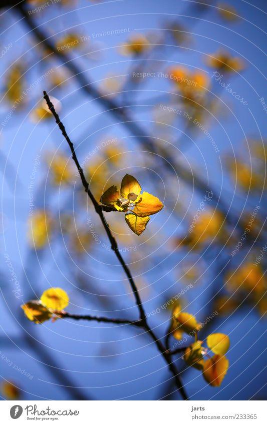goldene zeiten Natur Frühling Schönes Wetter Blatt frisch glänzend natürlich blau gelb Farbfoto Außenaufnahme Menschenleer Textfreiraum oben Tag