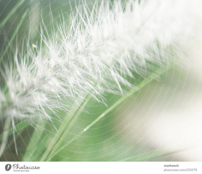 Rispe Natur Pflanze Gras hell weich grün weiß Rispenblüte Farbfoto Außenaufnahme Detailaufnahme Makroaufnahme Menschenleer Textfreiraum unten Licht