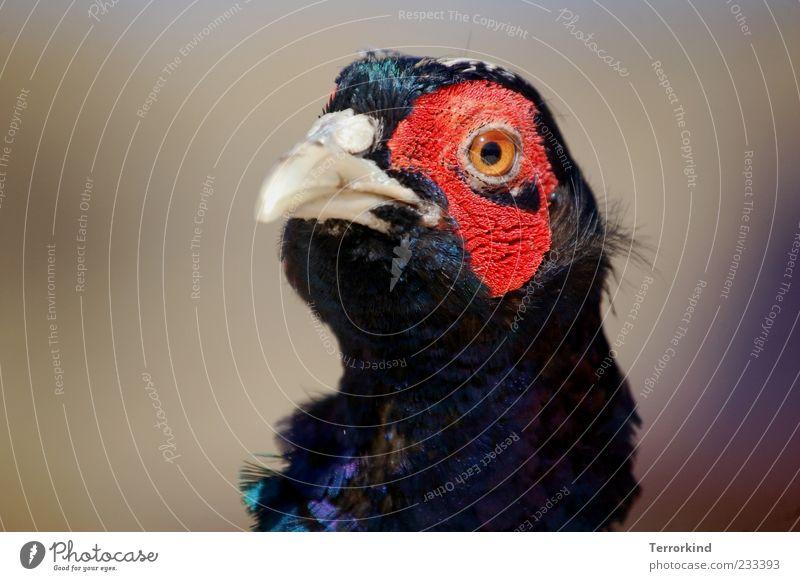 Spiekeroog | Schön.heit rot Auge Feder Tiergesicht Schnabel Spiekeroog gefiedert Tier Fasan
