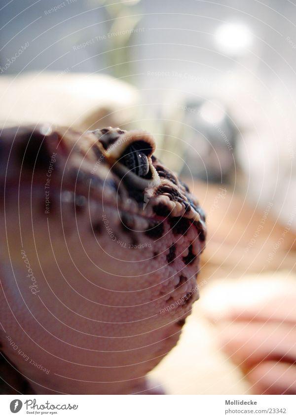 jago Gecko Tier nah Terrarium Echsen Echte Eidechsen Reptil heiß Physik Leopard Verkehr leopardgecko Auge Blick hell Wüste Sand Wärme