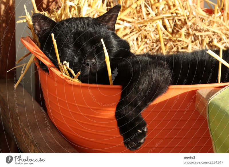 Katze liegt faul in einem mit Stroh gefülltem Wäschekorb Erholung Tier schwarz Tierjunges Zufriedenheit liegen Coolness Haustier Fell Hauskatze Müdigkeit