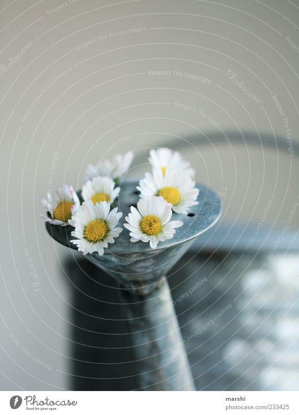 sprießende Gänseblümchen Natur weiß schön Pflanze Blume gelb außergewöhnlich Wachstum Dekoration & Verzierung Blech Gießkanne