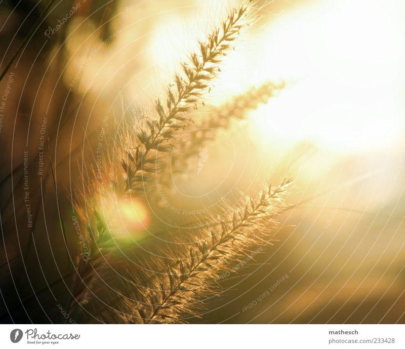 Zittergras Natur Pflanze Sonne Wärme gold weich Ähren Makroaufnahme Grasspitze