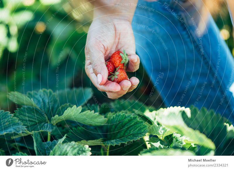 Michael Moeller, all rights reserved © 2017 Mensch Natur Sommer Hand Erwachsene Essen Frucht Ernährung frisch Ernte Vegetarische Ernährung Erdbeeren pflücken