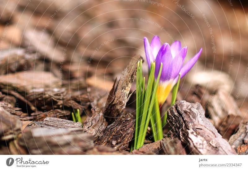 anblühen IV Pflanze Frühling Schönes Wetter Blume Blatt Blüte Grünpflanze Garten Park Blühend Wachstum frisch schön natürlich grün violett Frühlingsgefühle
