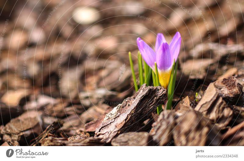 anblühen II Natur Pflanze Frühling Schönes Wetter Blume Blatt Blüte Wachstum frisch klein natürlich Frühlingsgefühle Krokusse Farbfoto mehrfarbig Außenaufnahme