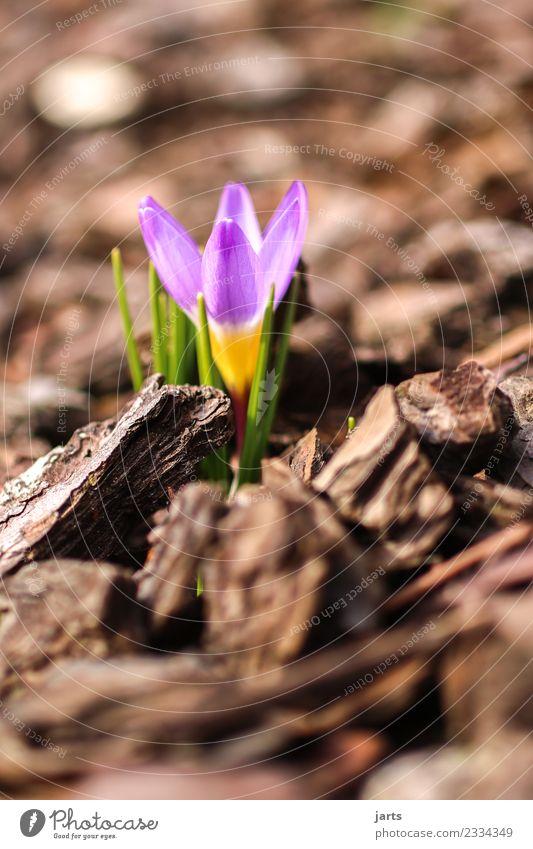 anblühen III Pflanze Frühling Schönes Wetter Blume Blatt Blüte Garten Blühend Wachstum ästhetisch Duft frisch schön natürlich rosa Frühlingsgefühle Natur