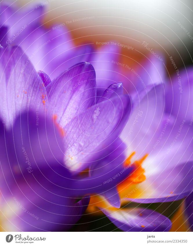 Korkusse II Pflanze Frühling Schönes Wetter Blume Blüte Garten Blühend frisch schön mehrfarbig rosa Frühlingsgefühle Natur Krokusse Farbfoto Außenaufnahme