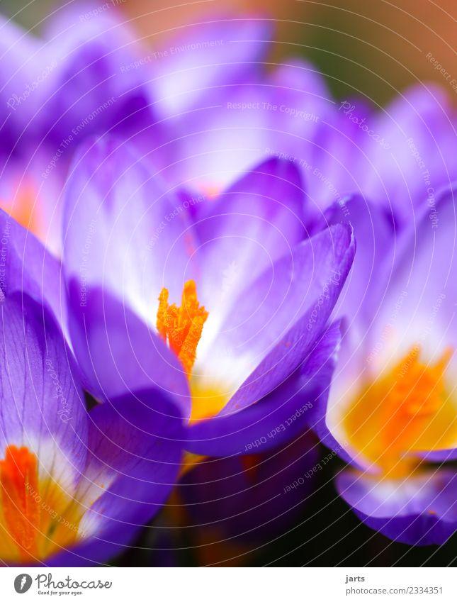 blühend Natur Pflanze Frühling Schönes Wetter Blume Garten Park Blühend Wachstum Duft frisch natürlich schön violett Frühlingsgefühle Krokusse Farbfoto